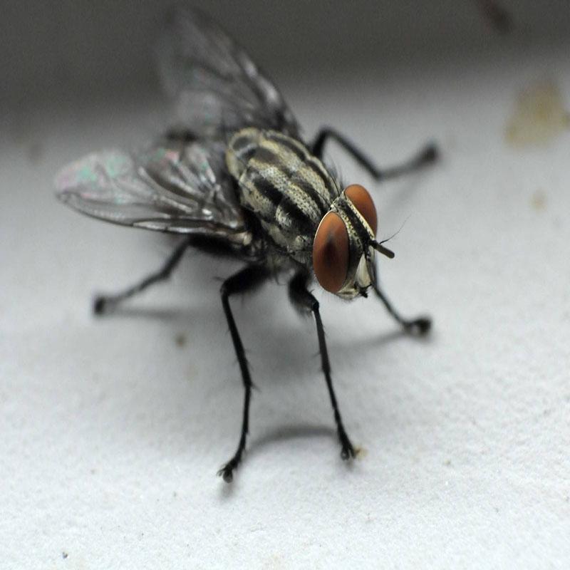 麻纹苍蝇灭治