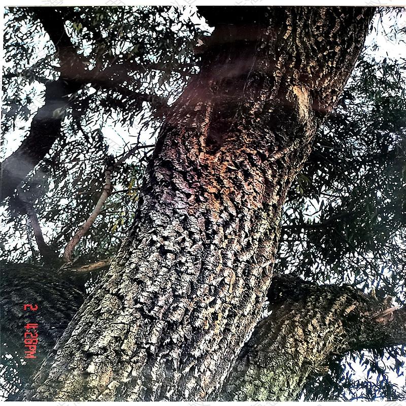 树木白蚁防治