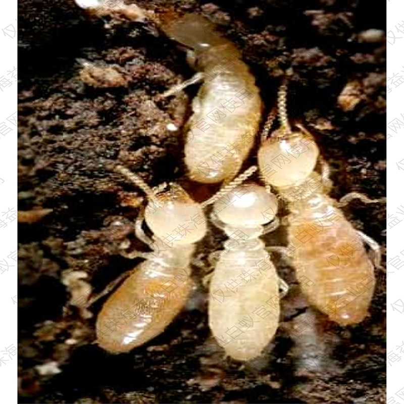 专业防治白蚁